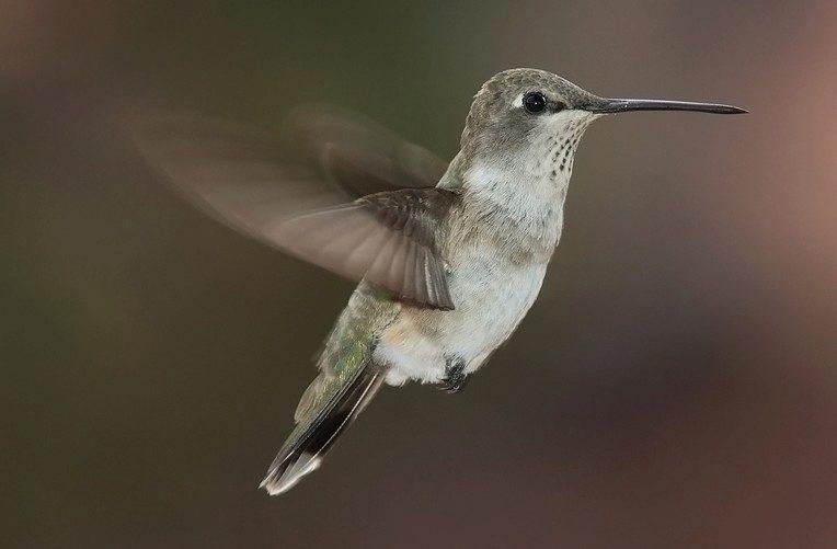 nexus 6P kolibřík