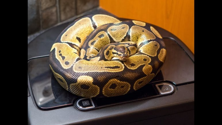 Even your snake can vacuum