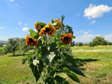 pohyb slunečnice