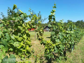 standardní rozlišení víno P40