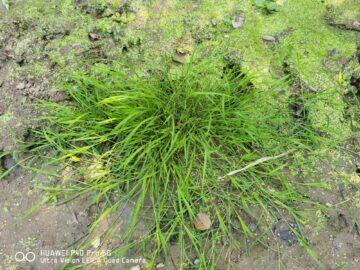 trs trávy P40