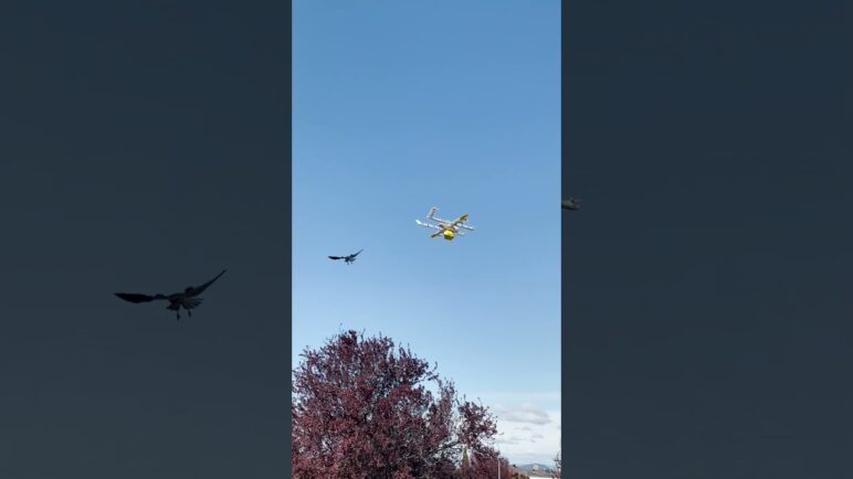 Im-Peck-Able: Australian Raven Attacks Drone Delivering Coffee